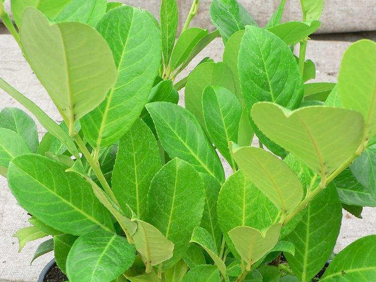 Lauroceraso - Prunus laurocerasus - Prunus laurocerasus - Piante ...