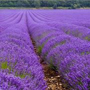 Lavanda