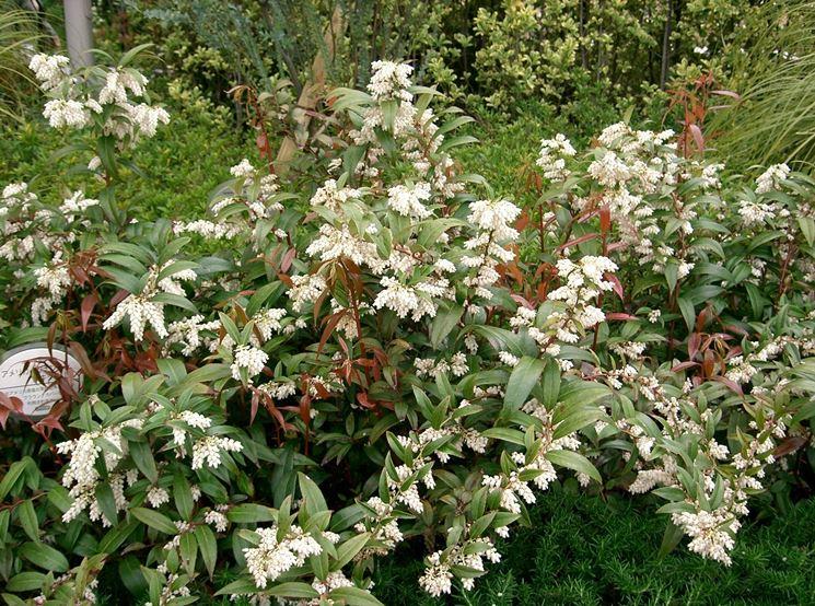 leucotoe axillaris