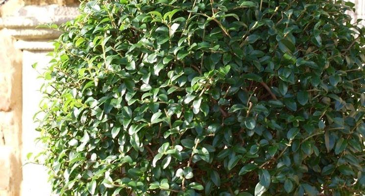 Siepe di Ligustrum verde giapponese,Ligustrum japonic 20 Piante Ligustro