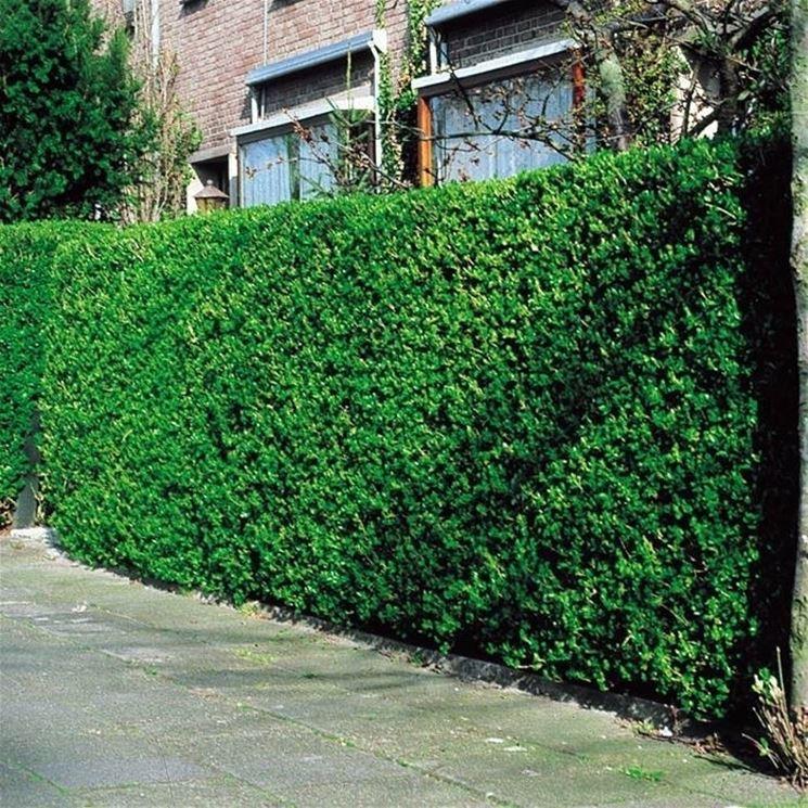 ligustro ligustrum ovalifolium piante da giardino