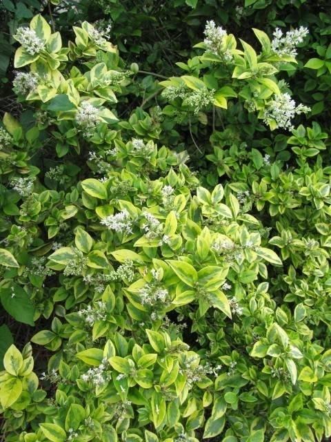 Ligustro ligustrum ovalifolium piante da giardino for Arbusti ad alberello