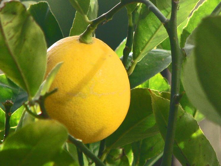 new design online retailer great quality Limone - Citrus limon - Citrus limon - Piante da Giardino ...