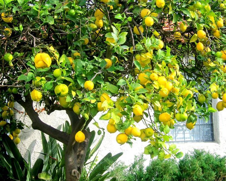limone citrus limon citrus limon piante da giardino