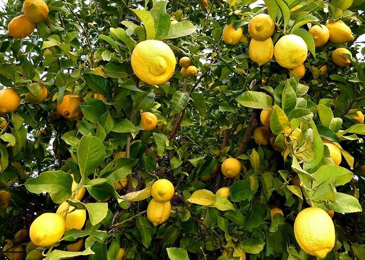 Limone Eureka