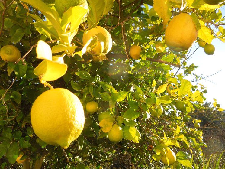 Limone citrus limon citrus limon piante da giardino for Coltivare limoni
