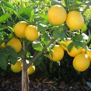 limone meyer