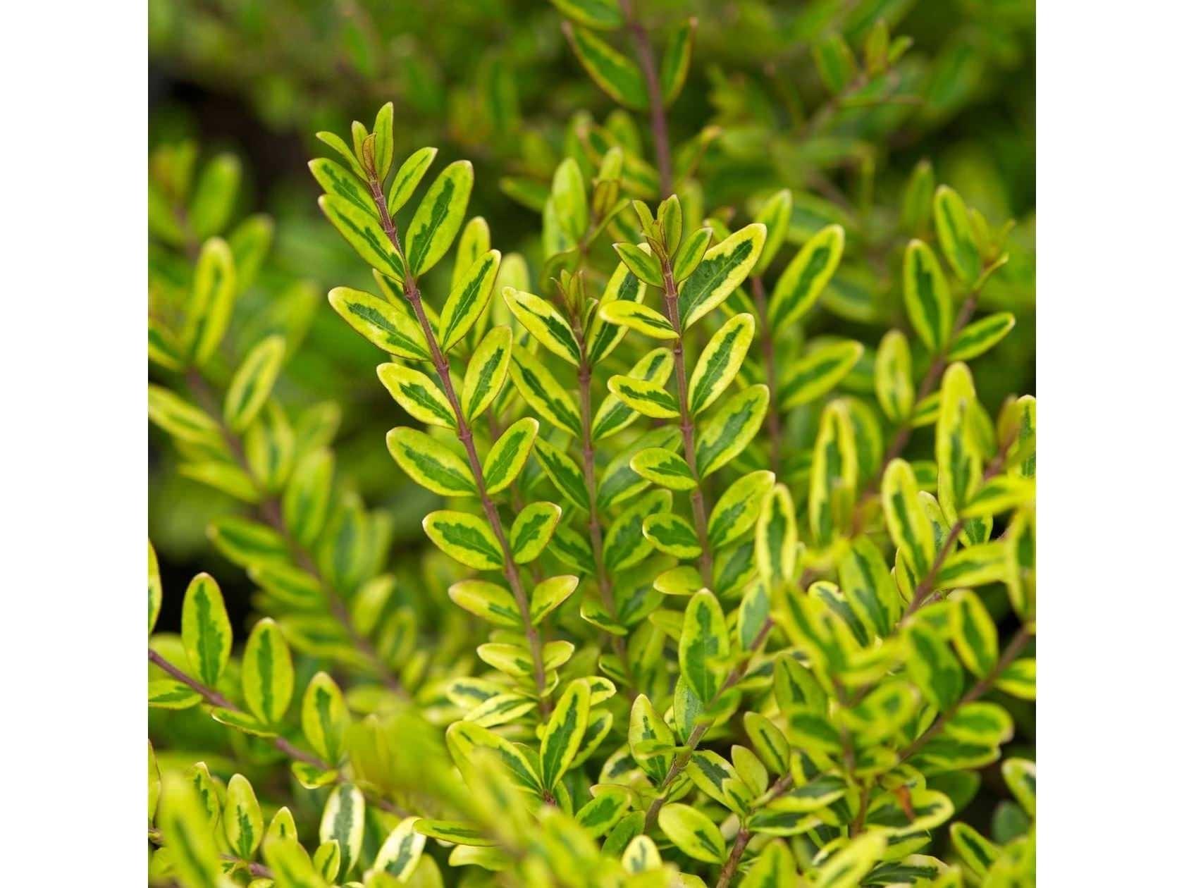 Come Potare A Palla lonicera - lonicera nitida - piante da giardino - lonicera