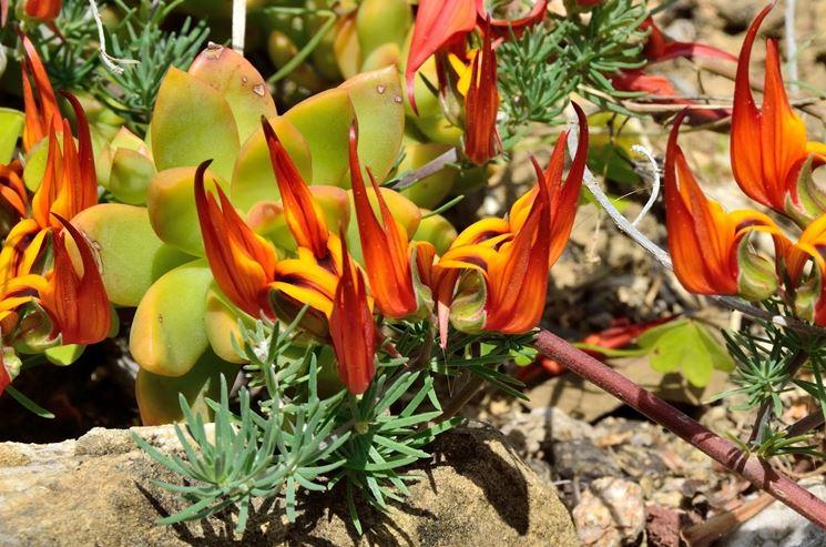 fiori di Lotus berthelotii