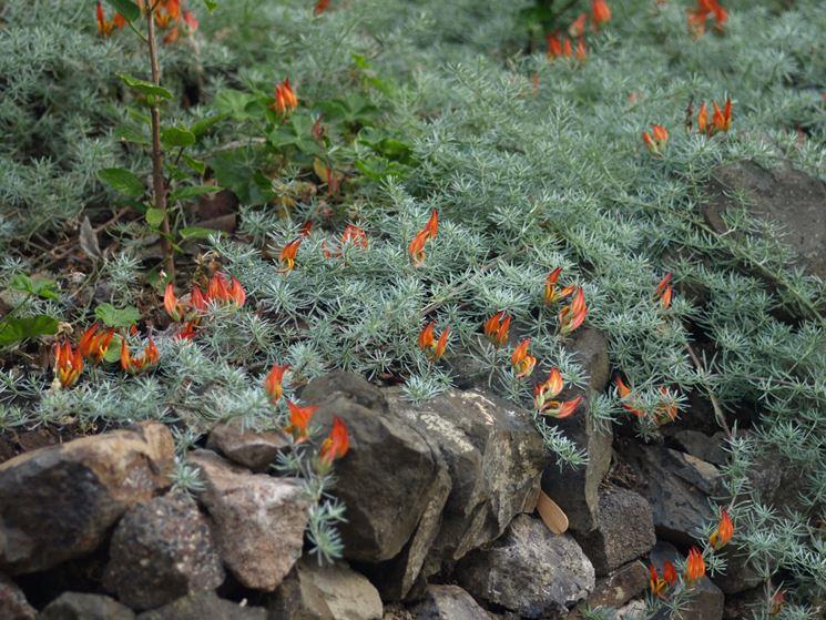 roccioso con lotus berthelotii