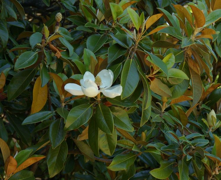 Magnolia magnolia grandiflora magnolia grandiflora for Magnolia pianta prezzi