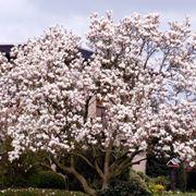 magnolia albero