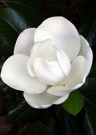 magnolia grandi