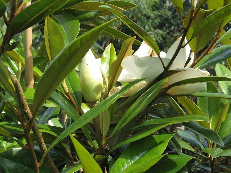 magnolia grandiflora gallisoniere