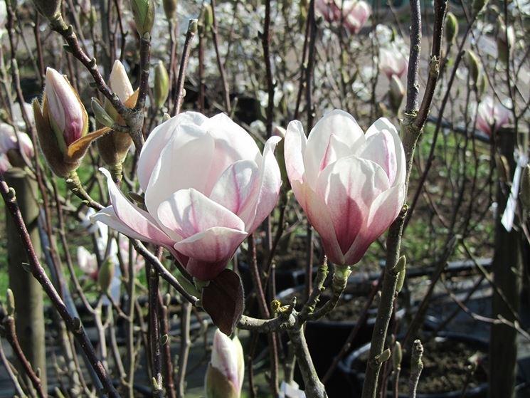 magnolia solangeana