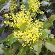 mahonia aquifolia
