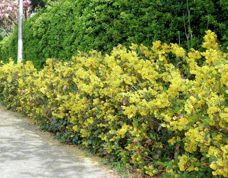 Maonia mahonia aquifolium mahonia aquifolium piante for Cespugli fioriti da giardino