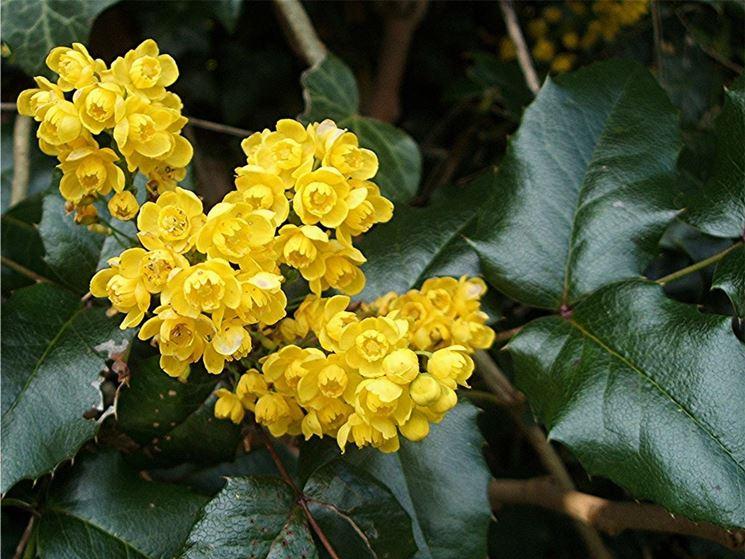 maonia aquifolium