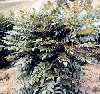 """Mahonia aquifolium"""""""