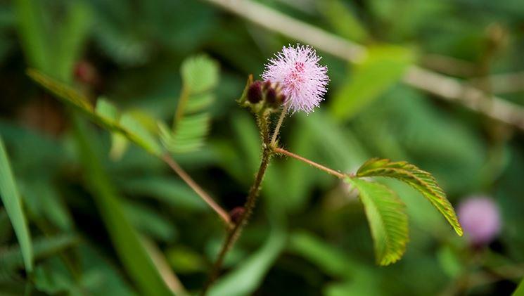 Rinvaso mimosa