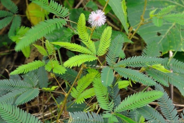 proprietà mimosa pudica