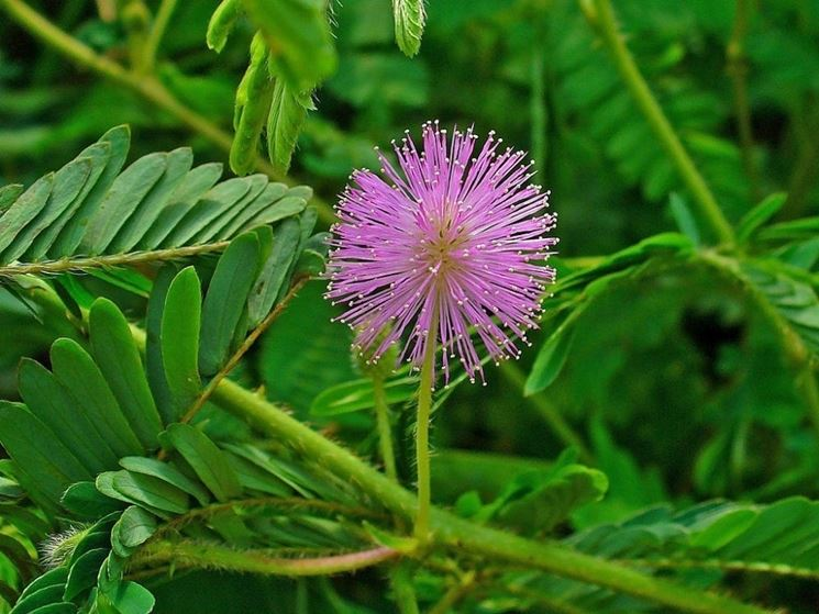 sensitiva mimosa
