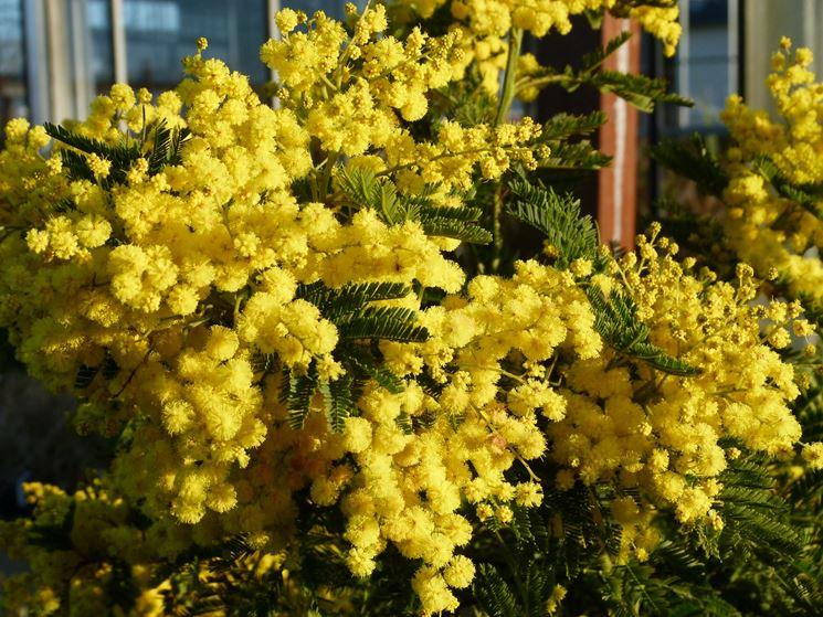 mimosa acacia dealbata acacia dealbata piante da giardino mimosa acacia dealbata arbusti. Black Bedroom Furniture Sets. Home Design Ideas