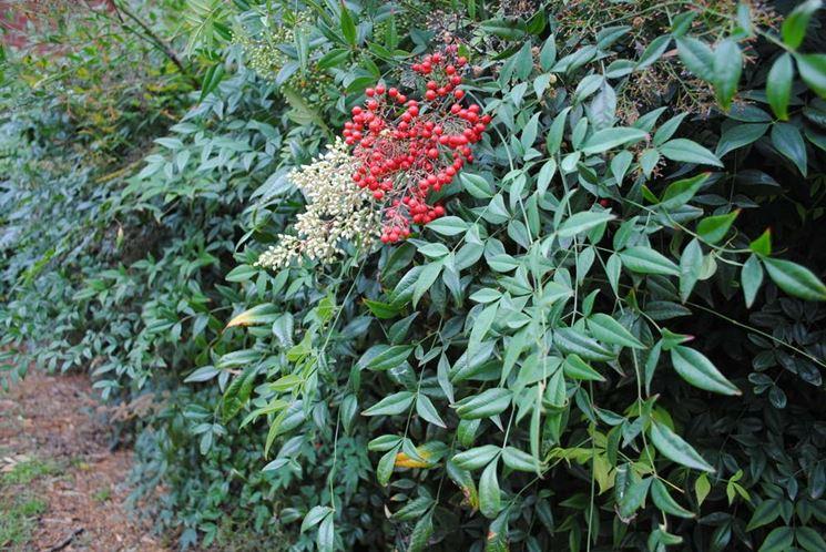 Nandina domenstica nandina domenstica piante da for Calcolatore del prezzo della costruzione domestica