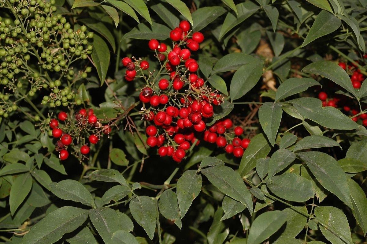 Pianta Ornamentale Con Bacche Rosse nandina domenstica - nandina domenstica - piante da giardino