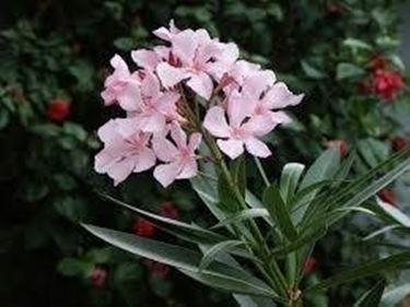 oleandro oleandri : oleandro ? una pianta interamente velenosa. Il veleno si trova in ...