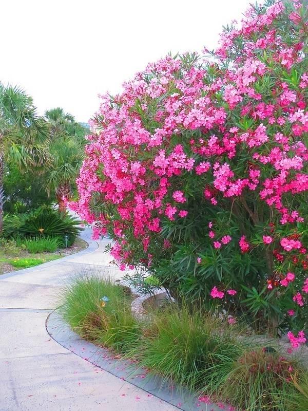 oleandro oleandri : Oleandro - Nerium oleander - Nerium oleander - Piante da Giardino ...