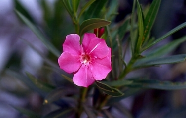 Oleandro  -  Nerium oleander