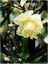"""Nerium oleander"""""""