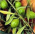 oliivi�li