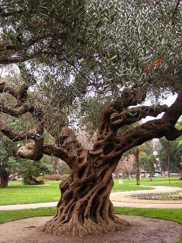 Ulivi olea europaea alberi ulivi alberi - Giardino con ulivi ...