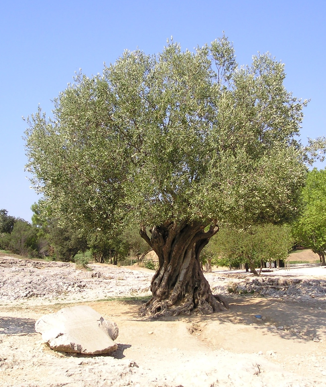 olivo pianta