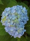 """Hydrangea arborescens"""""""