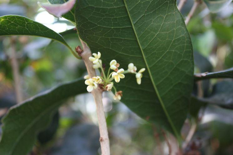 Osmanto osmanthus piante da giardino osmanto olea - Osmanthus siepe ...