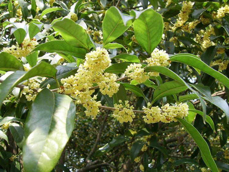 Osmanto olea fragrans osmanthus osmanthus piante da - Osmanthus siepe ...