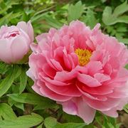 peonia giapponese