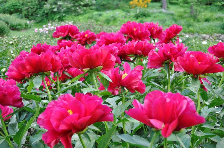 peonie fiorite