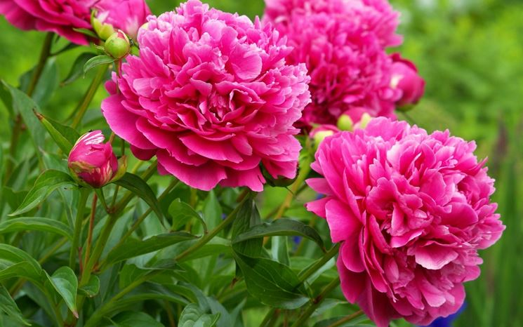 fiori di peonia