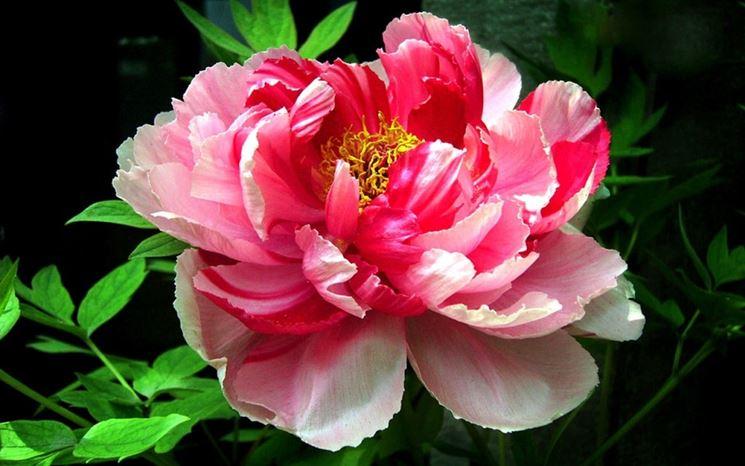 fiore di peonia