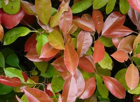 Photinia x fraseri