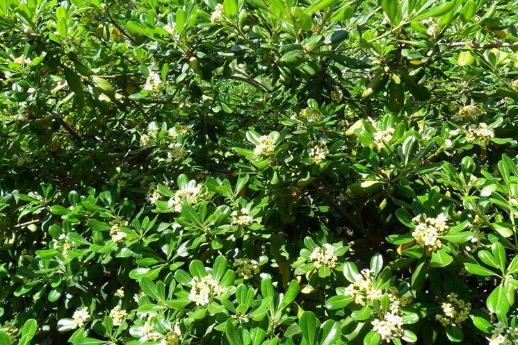 Pittosporo pittosporum pittosporum piante da for Piante da cespuglio