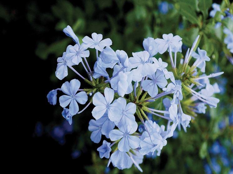 I fiori di Plumbago