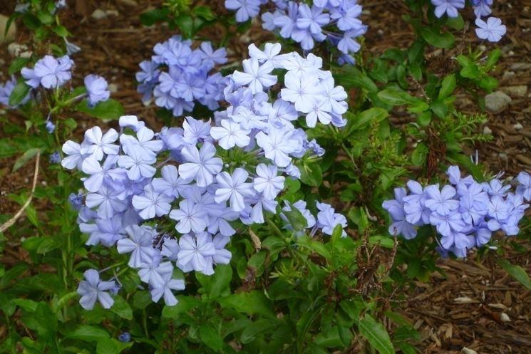 fiori di plumbago