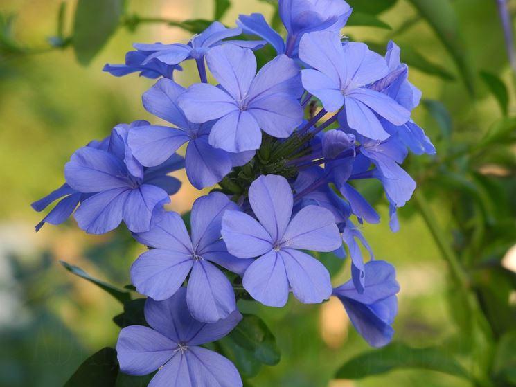 fiori plumbago
