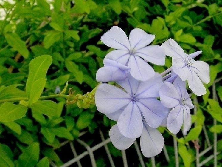pianta plumbago