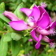 Poligala myrtifolia